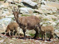 Ibex family picture in Gredos (Spain)
