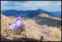 Spring Crocuses on Fatra