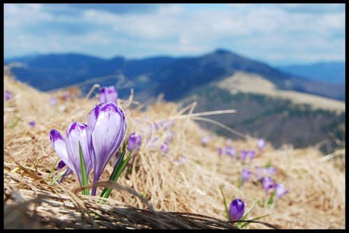 Spring Crocuses on Fatra