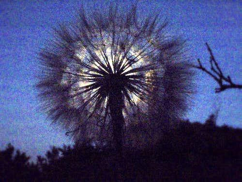 Dandelion-head of Yellow Salsify in moonlight