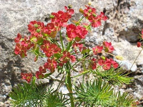 Euphorbia (Wolfsmilch) at HTL Via Ferrata - HTL Klettersteig