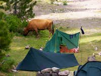 Cow on a campsite near Asco