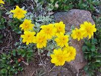 Eriophyllum lanatum var. integrifolium, Wooly Sunflower