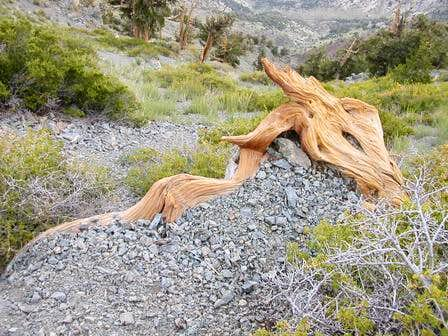 Fallen log on Telescope Peak,...