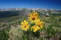 Wildflowers on the unnamed 12er