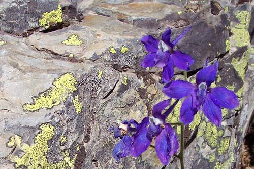 Low Larkspur