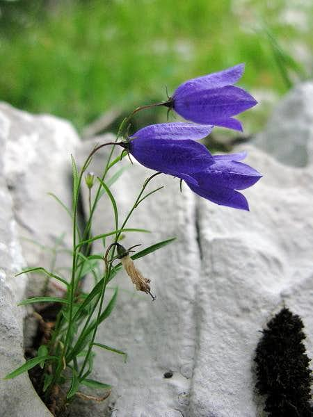 Grobnik Alps flowers