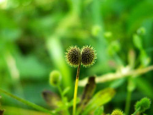 Fruits of Galium...