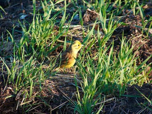 Gorce. Little yellow serinus.