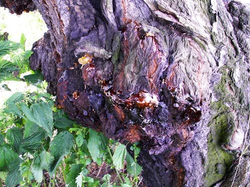 Bark of mountain trees