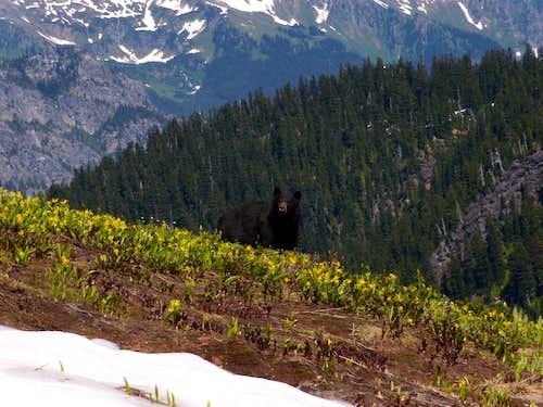 Cascades Bear