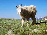 Gore Range Goat