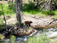 Black bear South San Juan Wilderness