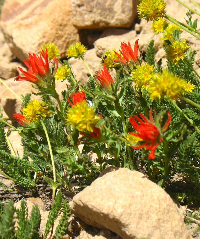 Bald Mountain Yellow & Red Wildflowers