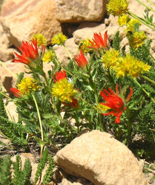 Bald Mountain Yellow & Red Wildflowers