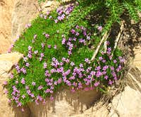 Bald Mountain Purple Wildflowers
