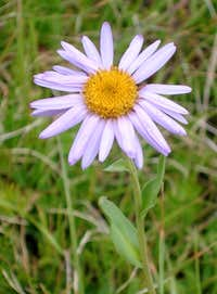Parry\'s Aster