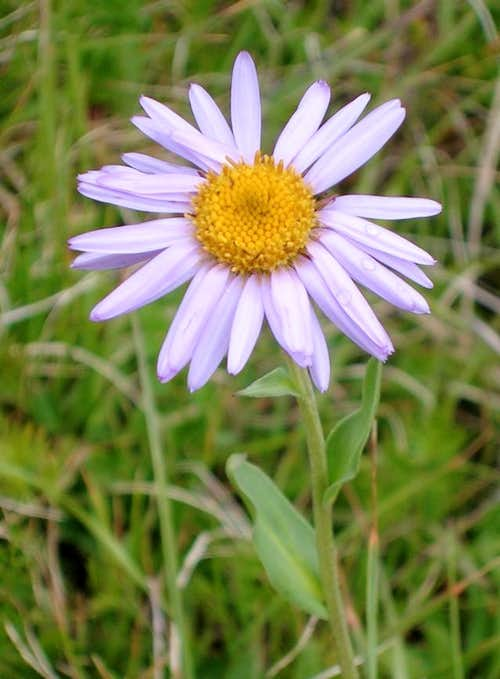 Parry's Aster
