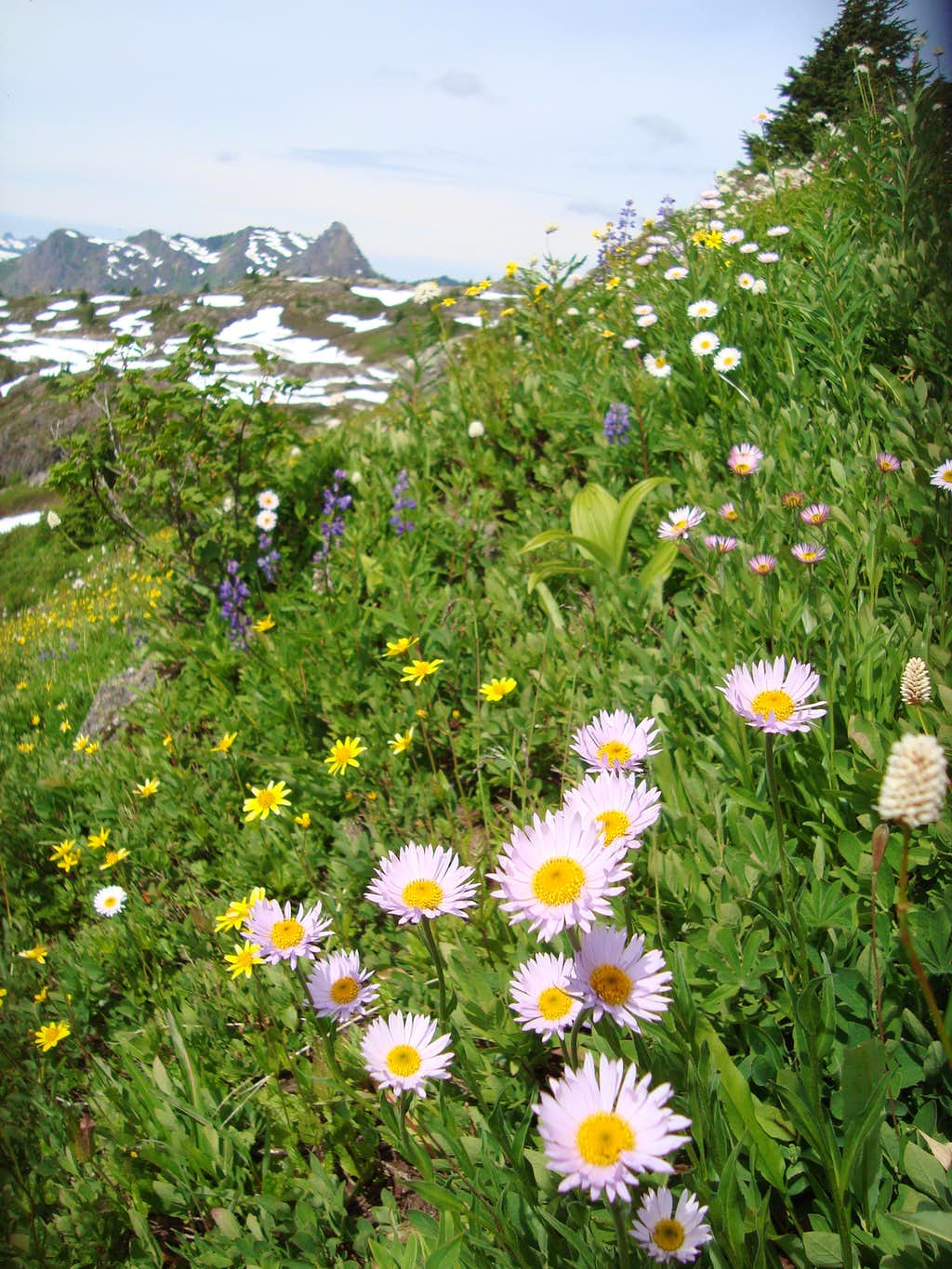 Pretty pink daisy like flowers photos diagrams topos summitpost pretty pink daisy like flowers izmirmasajfo Images