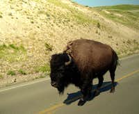 Buffalo walking along the street