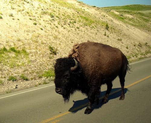 Buffalo walking along the street