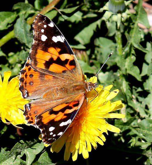 A posing butterfly
