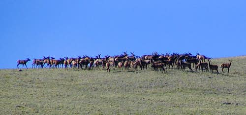A huge herd of elk on the east ridge of Buffalo Peaks...