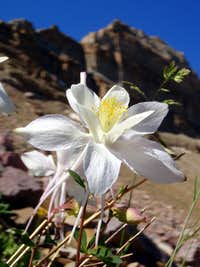 Columbine at Old Priord Pass Trail