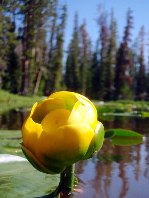 Water Lilies, Scudder Lake