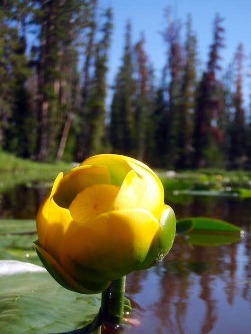 Water Lilies, Scudder Lake
