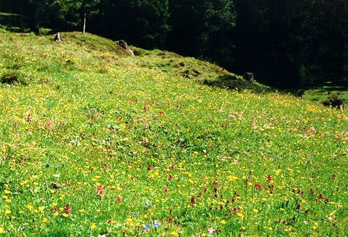 Meadow in the upper Tschamin...