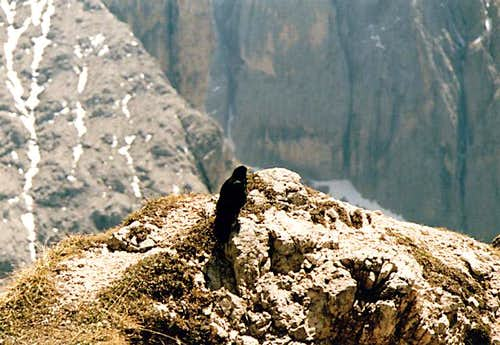 Alpine Chough high above...