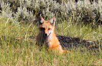 Leadville Fox