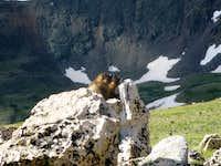 Mount Elbert Marmots