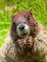 moocher marmot
