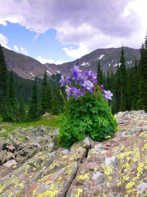 Columbine center piece