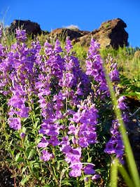 Broadleaf Penstemon on Tolcats Trail