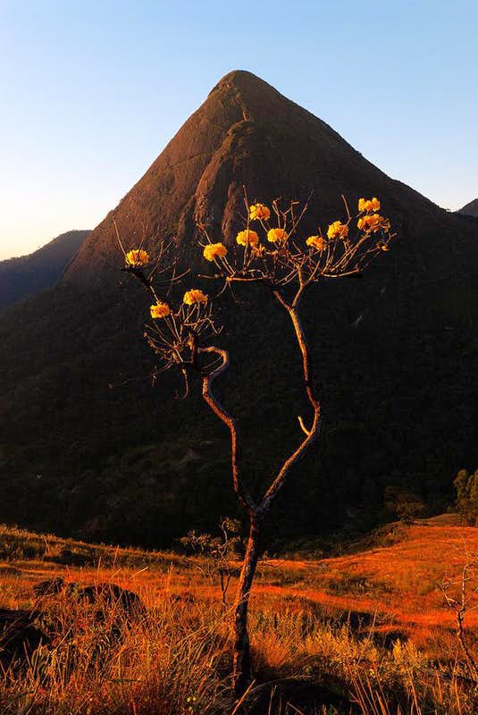 Yellow Ipê(tree symbol of Brazil) and Cone rock in sunset