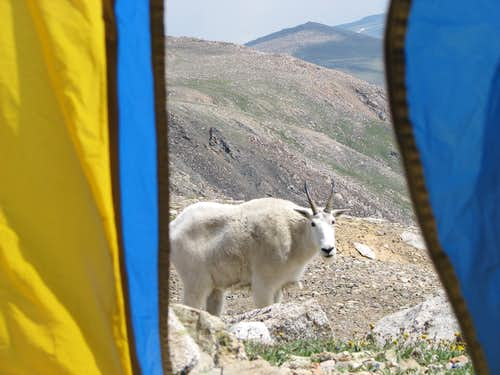 High Camp Goat