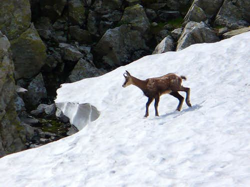 chamois on a snowfield