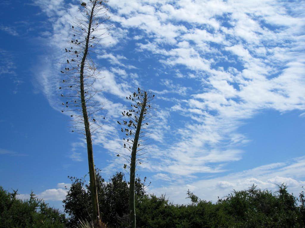 Yucca and Skies along ridge to Barley Flats