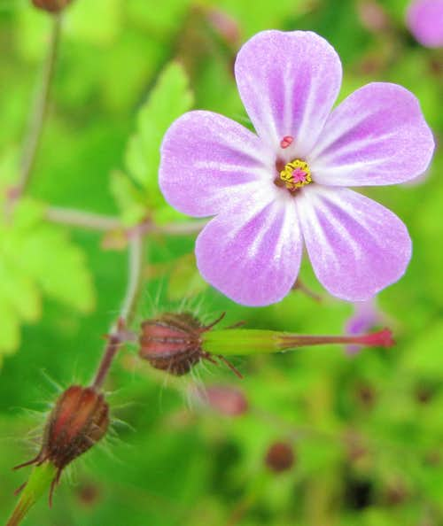 Herb-Robert geranium