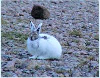 An arctic hare, one of the...