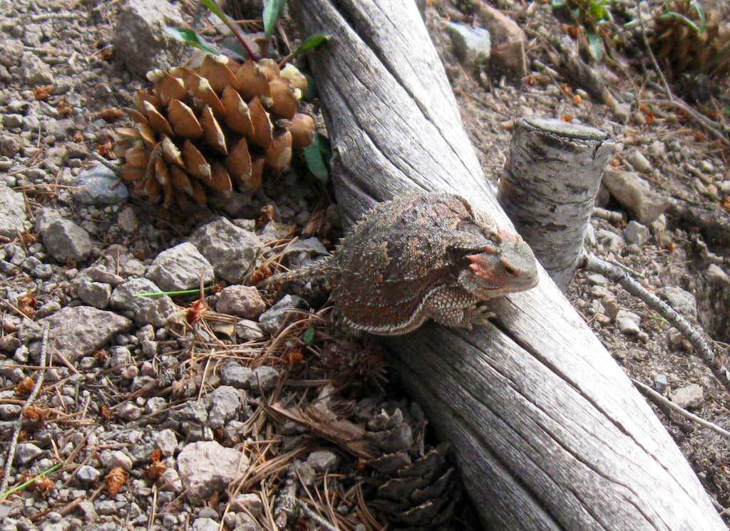Horned frog