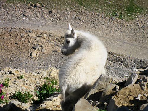 Timp Goat
