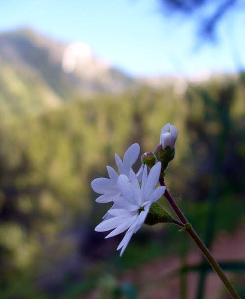 Woodland-Star in Thaynes Canyon