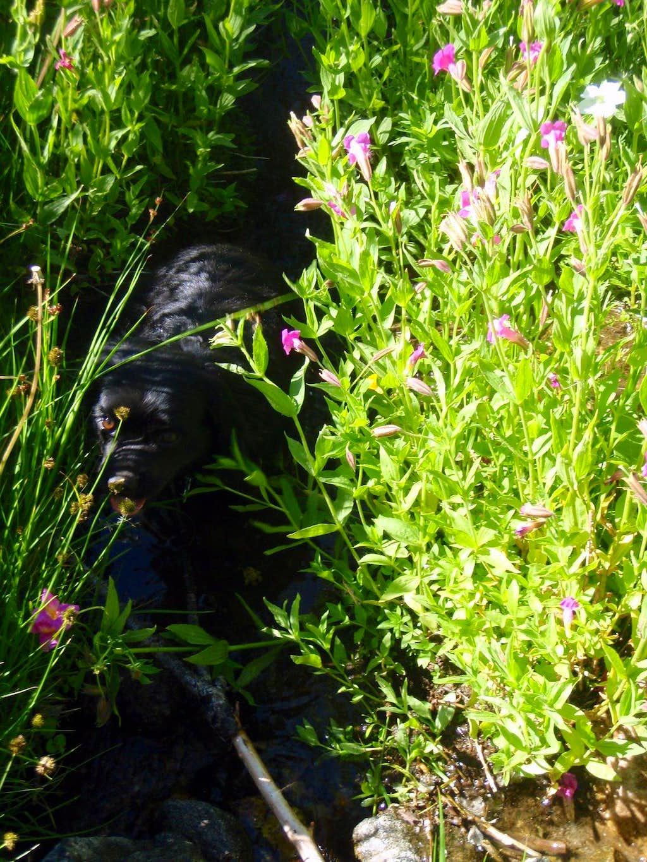 Brookside Monkey-Flowers