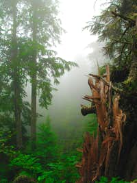 Dense Fog and Old-Growth Forest