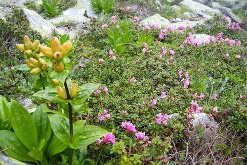 Retezat alpine meadow