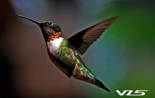 Archilochus colubris - Hummingbird - Colibri